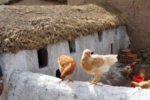 Hühner für die Produktion von Eiern